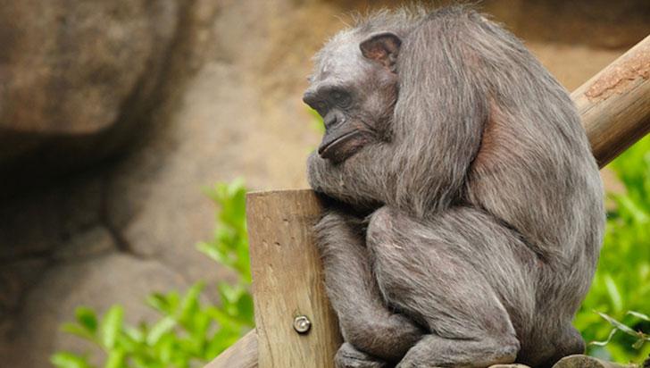La presencia de humanos altera la conducta y la cultura de los chimpancés