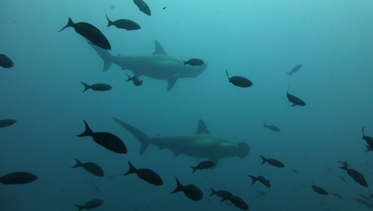 Galápagos: investigadores descubren refugio para tiburones en peligro de extinción