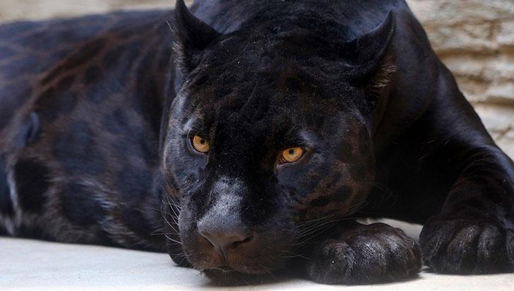 Jaguar ataca a mujer que saltó la valla en zoológico para hacerse una selfie