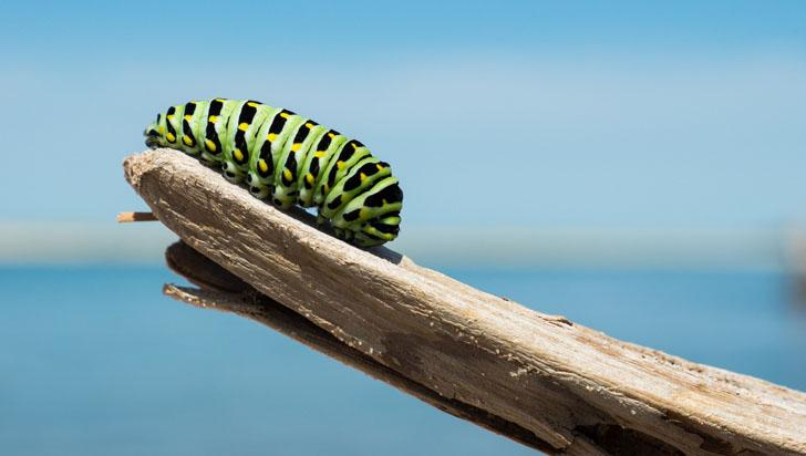 Esta oruga solo tiene dos opciones: consumir arsénico o morir devorada por depredadores