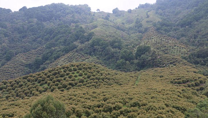 1,6% de las hectáreas del valle de Cocora son de cultivos de aguacate hass