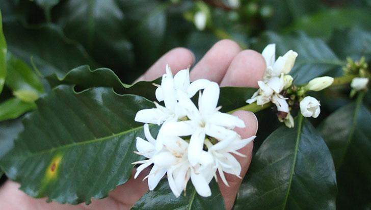 Por floraciones tardías, producción de café disminuyó en el Quindío