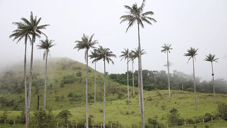 Cuatro regiones unidas por la protección de la palma de cera