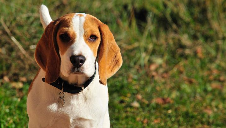 Un beagle podría detectar el cáncer con 97% de precisión, según estudio