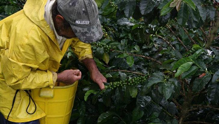 """Producción de café creció en Colombia durante abril; en Quindío fue """"poco abundante"""""""