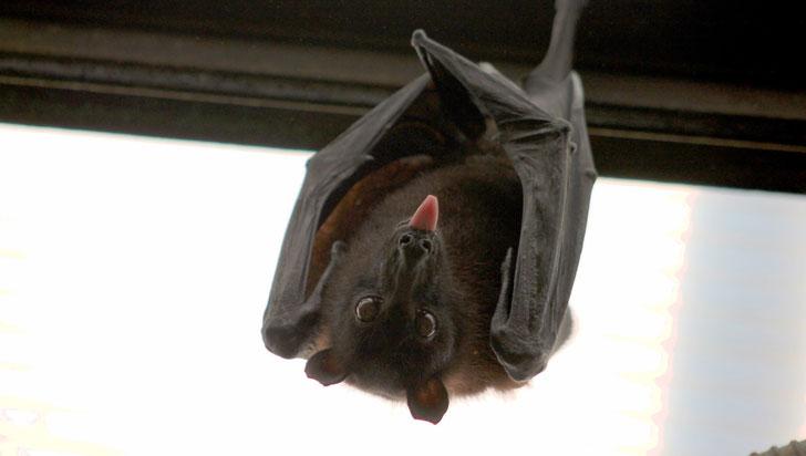 ¿Trueque sexual? Las hembras murciélagos de la fruta ofrecen sexo a los machos a cambio de comida
