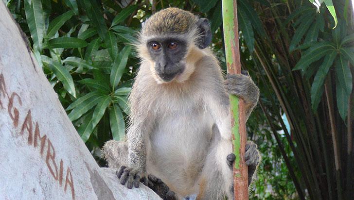 Los monos verdes lanzan un sonido específico al ver drones