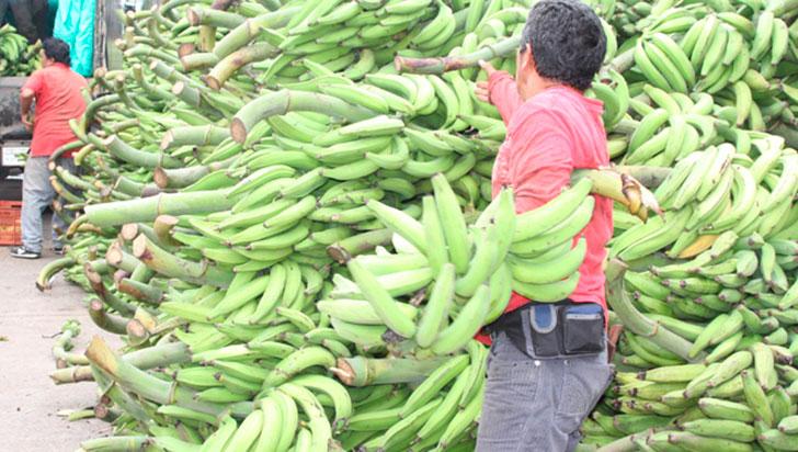 Por las lluvias, producción de plátano ha disminuido 30%