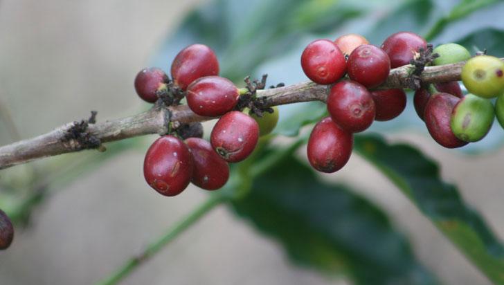Bajó producción de café en la cordillera del Quindío