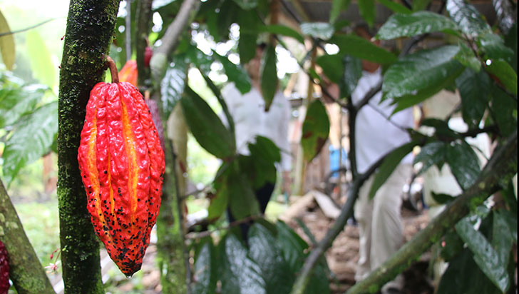 Producción de cacao toma fuerza en Quindío; cerca de 387 hectáreas