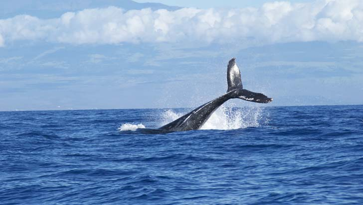 Inician subastas de carne de ballena en Japón luego de retomar la caza