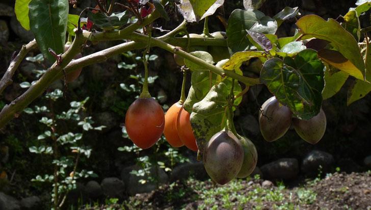El tomate de árbol fue el otro protagonista de la visita del consejo de seguridad de la ONU