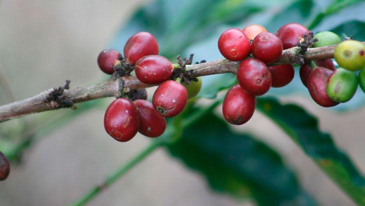 Quindío: 25 % aumentó la cosecha de café en julio