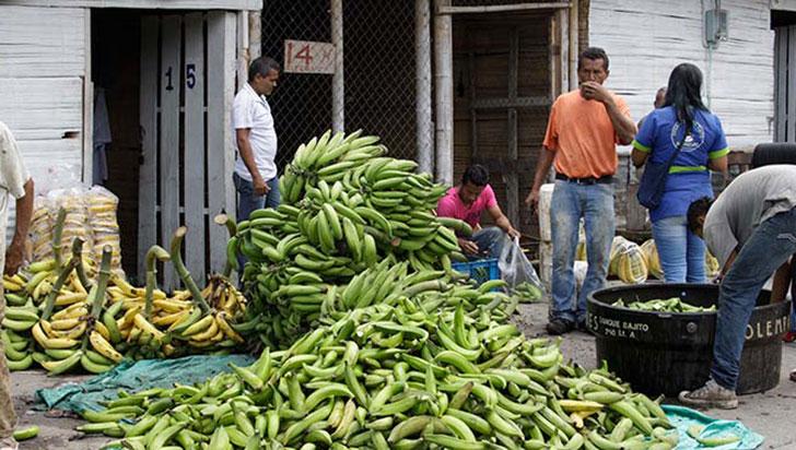 """ICA: """"Fusarium RT4 no tiene ningún efecto en el banano ni plátano de consumo"""""""