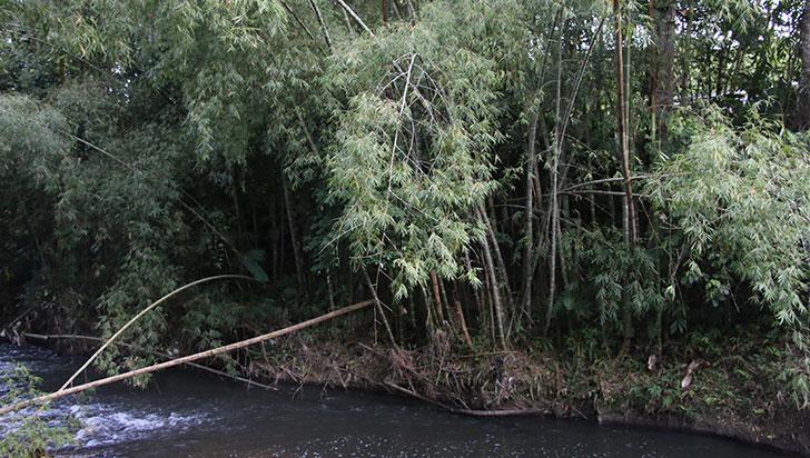 Queja por tala indiscriminada de guadua; autoridad dice que es legal