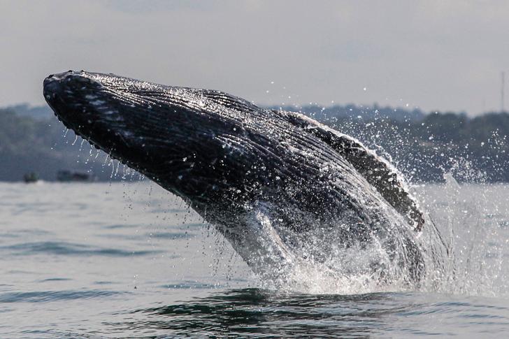 Avistamiento de ballenas; un espectáculo natural en El parque Nacional Uramba Bahía Málaga