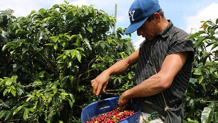 Quindío registró leve crecimiento en la  producción de café en lo que va del año