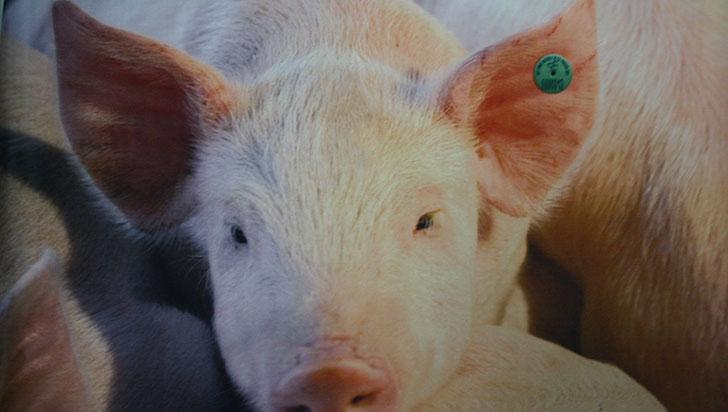 Inspecciones y capacitaciones en Quindío para prevenir fiebre porcina africana