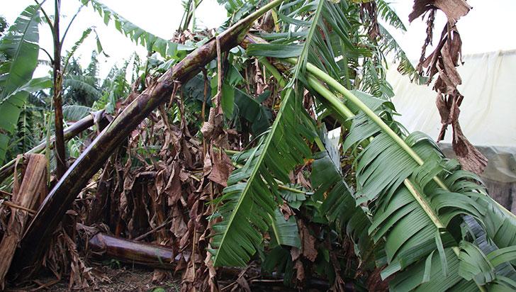 Cultivos de plátano en Calarcá y Quimbaya, afectados por fuertes lluvias