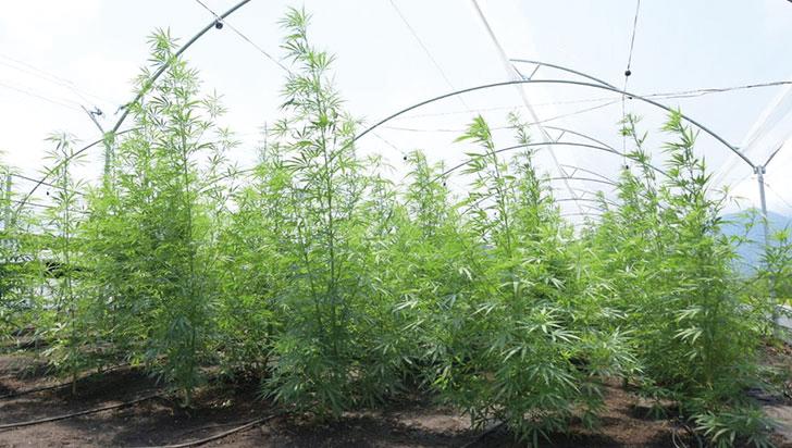Gobierno se comprometió a agilizar trámites de licencias de cannabis medicinal