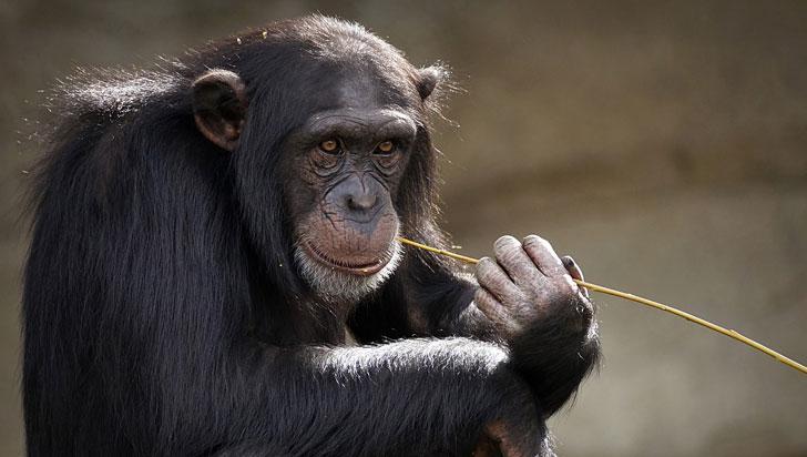 ¿Cuántos años vive un chimpancé?