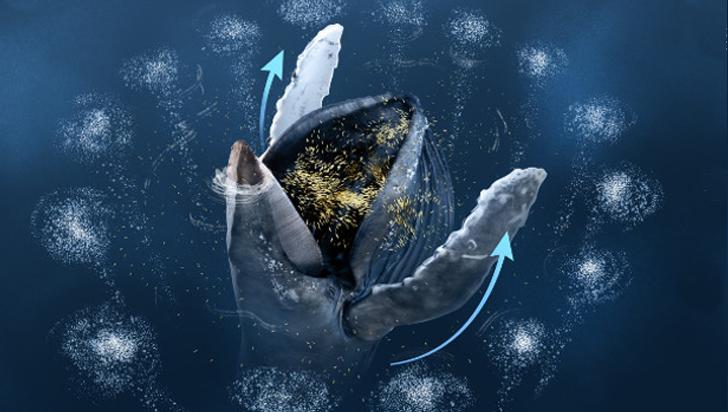 Por primera vez se observaron ballenas jorobadas usando sus aletas pectorales para cazar