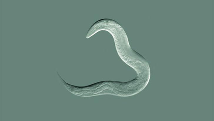 Un gusano 'humanizado' revela puntos débiles del cáncer