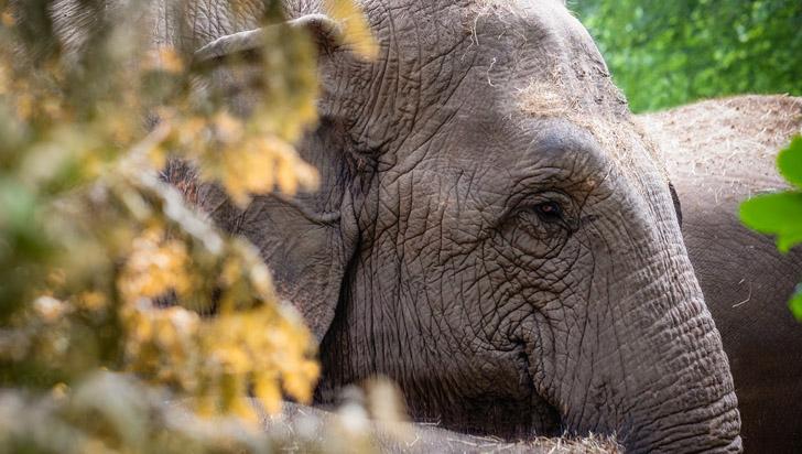 Las elefantas asiáticas también muestran signos de menopausia