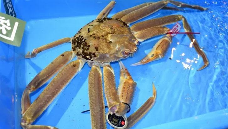 ¿Pagaría 153 millones de pesos por un cangrejo? una subasta en Japón logró este precio récord