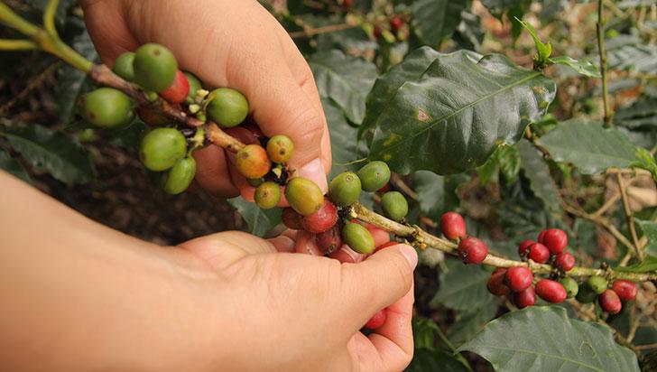 Con precio del café a $1 millón la carga, se abre oportunidad para ventas a futuro