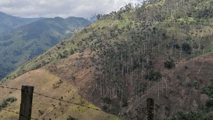 Dos hectáreas de bosque de palma de cera, afectadas con quema