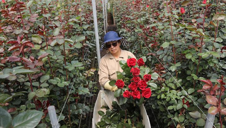 Las rosas colombianas para San Valentín, un trasfondo de resiliencia femenina