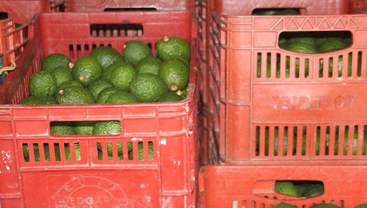 Cultivos de aguacate hass en Quindío se habrían estancado