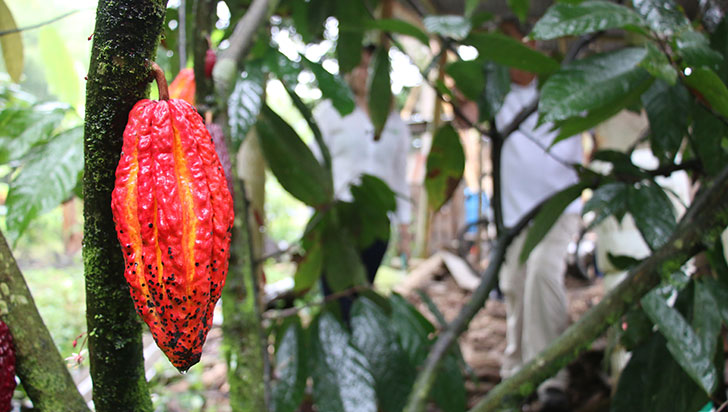 Gourmet francés quiere convertir el cacao del Quindío en el mejor chocolate del mundo