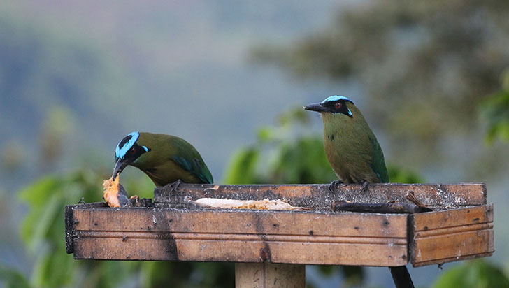 Quindío cuenta con 642 tipos de  pájaros, según el Instituto Humboldt