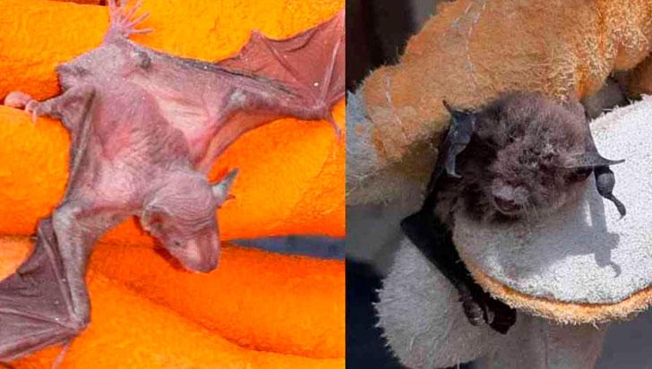Casi 500 murciélagos fueron atacados con fuego en Perú por temor al COVID-19