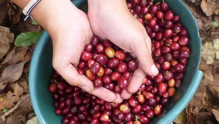 En marzo, producción de café cayó 12 %; Quindío no es la excepción