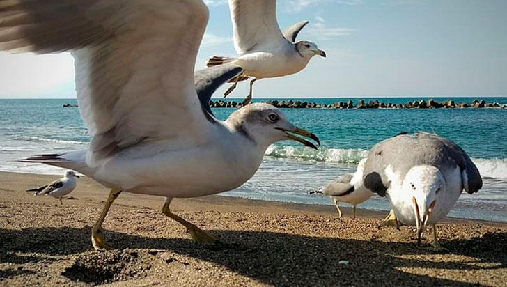 Las gaviotas prefieren las áreas pobladas por humanos