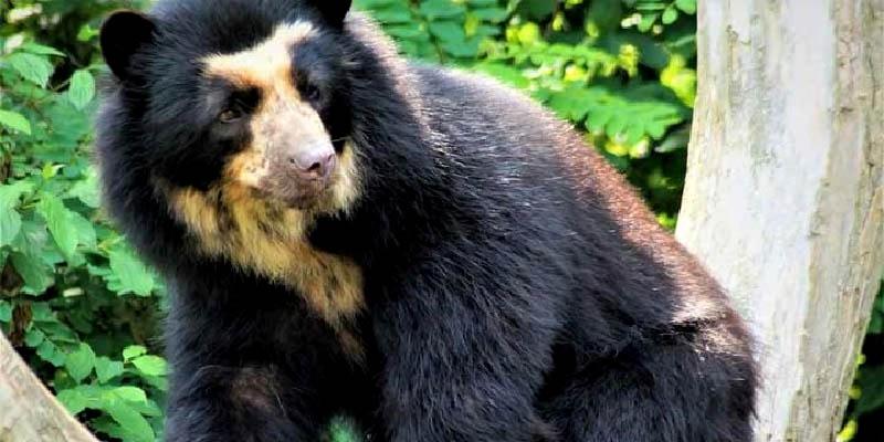un-santuario-de-osos-resiste-a-las-adversidades-en-los-andes-colombianos