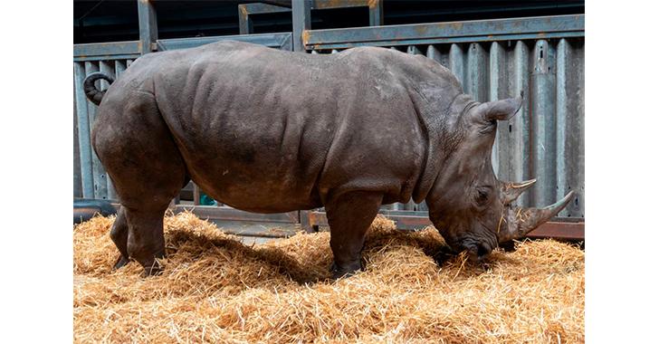 La reproducción asistida brinda una nueva esperanza a los rinocerontes blancos del norte