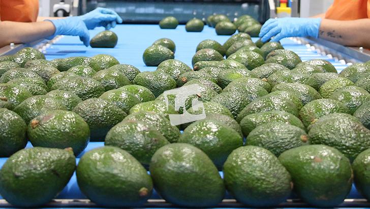 La meta de Quindío en 2020 es llegar a 2.000 hectáreas de hass registradas para exportación
