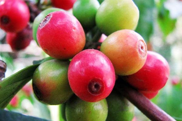 la-produccin-de-caf-en-colombia-cae-un-19-y-exportaciones-el-39