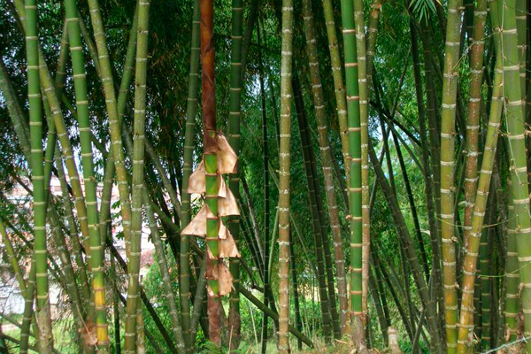 En Colombia hay 102 especies de guadua