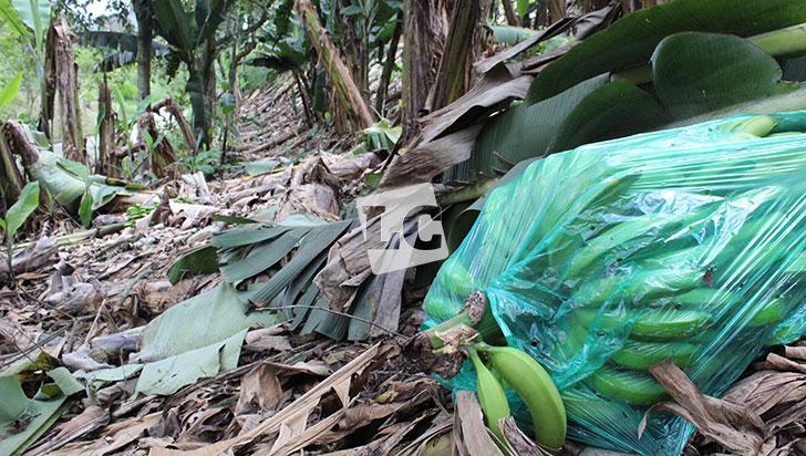 Invierno vuelve a afectar plantaciones de plátano, esta vez a causa de deslizamientos