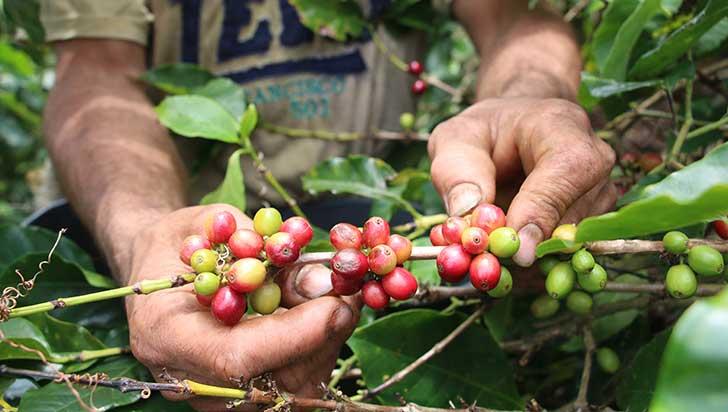 Fondo de Estabilización del Precio del Café cierra el año con $240.000 millones