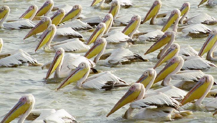 Confirman la gripe aviar como causa de la muerte de 750 pelícanos en Senegal