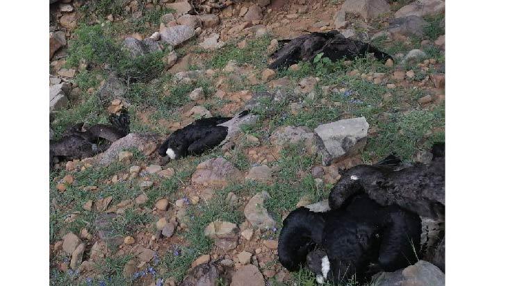 Expertos toman muestras de los más de 30 cóndores hallados muertos en Bolivia