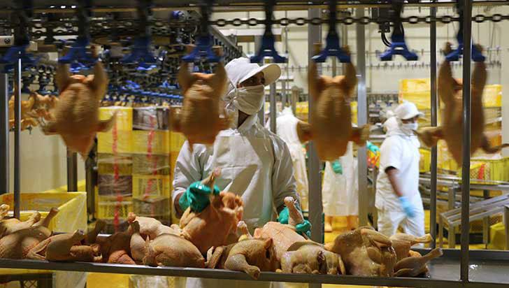 Pollos represados y falta de alimento, problema del sector avícola en Quindío