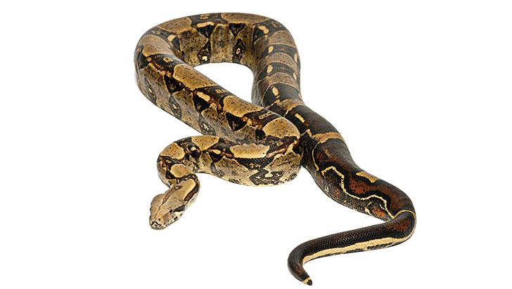 Boa constrictor encontró en La Tebaida un 'Edén Tropical'