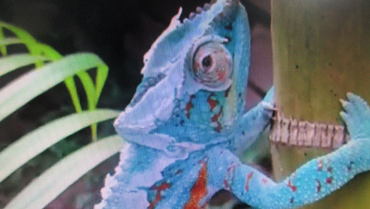 Incautado camaleón cuando era transportado al Valle del Cauca